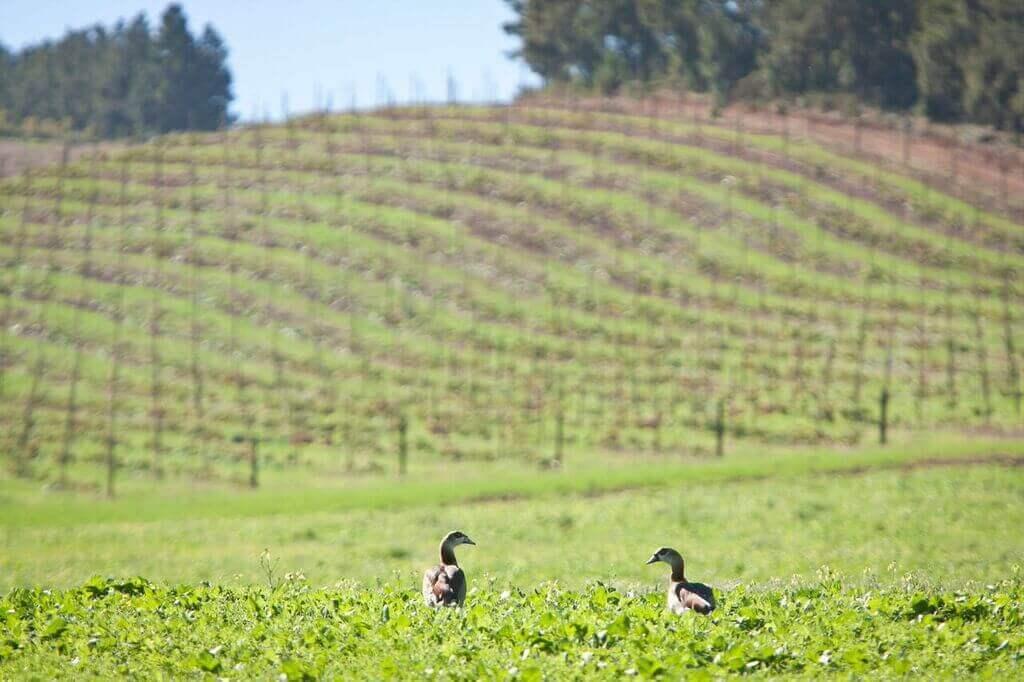 journeys-end-premier-vineyards-Ducks