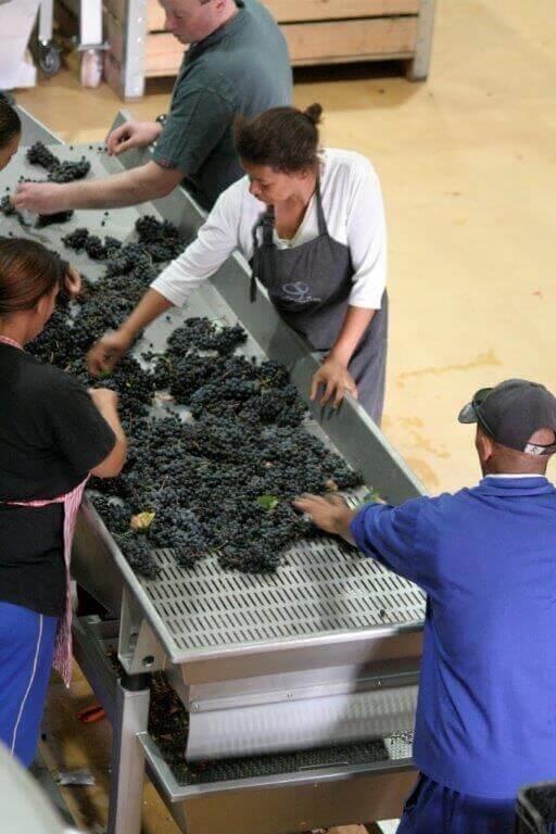 journeys-end-premier-vineyards-sorting grapes