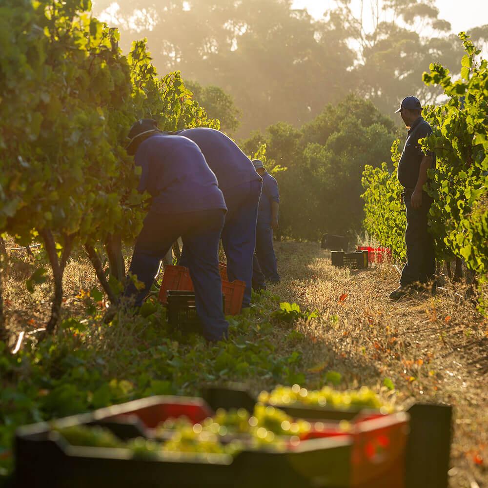 Journeys End Vineyards Early harvest 2021 3