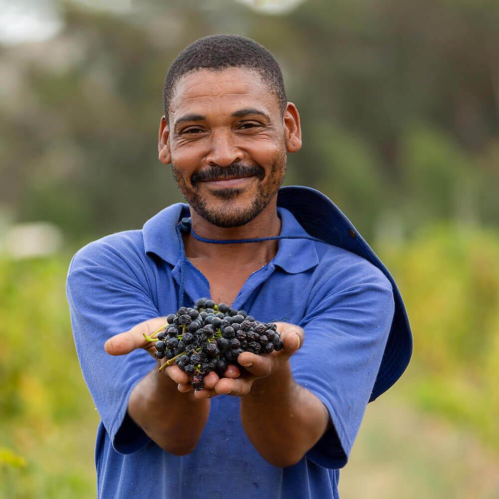 Journeys End Vineyards Harvest